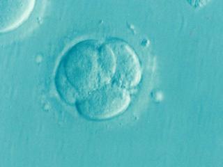 La lutte pour la vie commence dans les premiers jours du développement de l'embryon